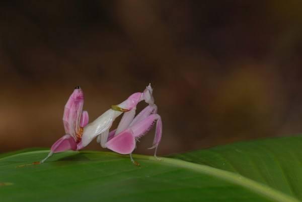 14-animales-de-color-rosa-que-te-van-a-sorprender-mantis-orquidea
