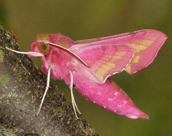 14-animales-de-color-rosa-que-te-van-a-sorprender-pollilla-halcon-elefante