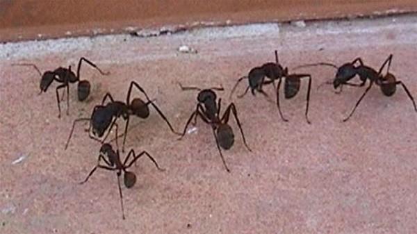 Acabar con hormigas en casa interesting plaga de hormigas for Como acabar con las hormigas del jardin