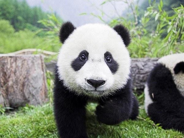 osos panda