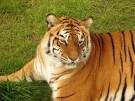 El tigre de bengala desaparece… por culpa nuestra