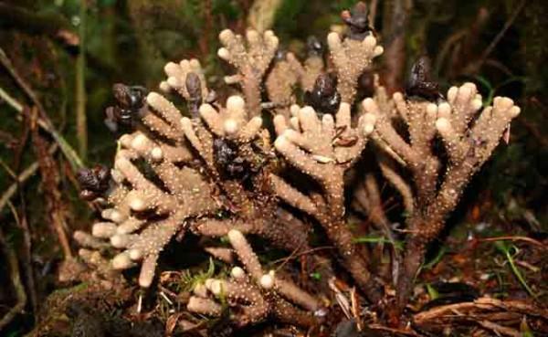 Balanophora coralliformis-planta-superviviente