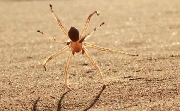 Cebrennus rechenbergi araña