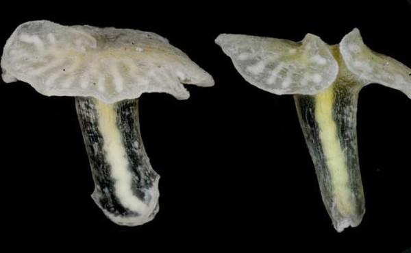 Dendrogramma enigmatica medusa