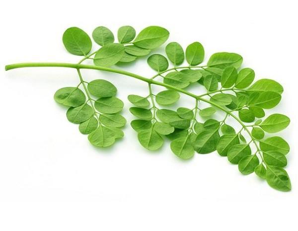 hoja moringa oleifera