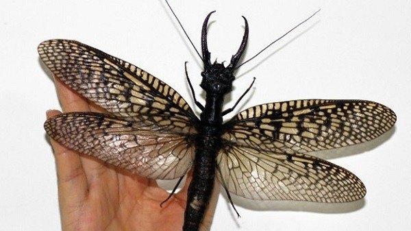 insecto más grande