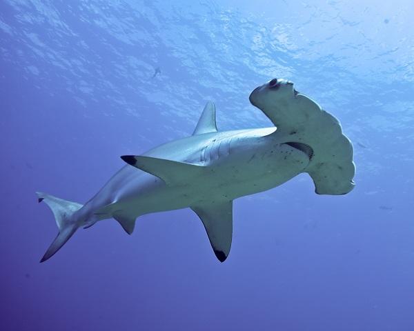 A hammer fish is a sort of shark