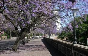Argentina preserva árboles autóctonos mediante un rito japonés