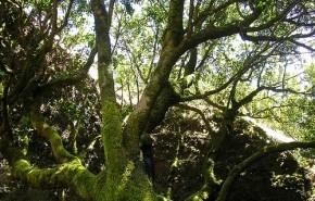 Garoé, el árbol sagrado que aporta agua dulce