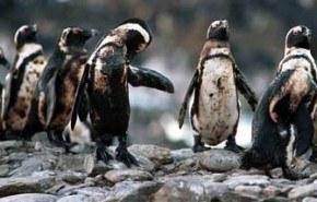 Hundimiento en la Antártida pone en peligro a 2500 pingüinos