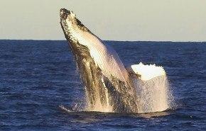 Ballenas jorobadas protegidas por República Dominicana y Estados Unidos