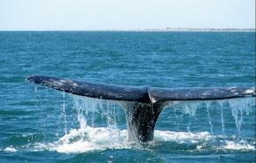 Ballenas grises adelgazan debido al calentamiento global