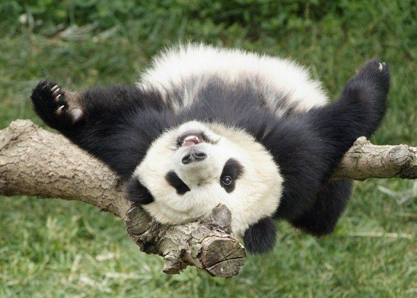 oso-panda-ailuropoda-melanoleuca-comportamiento