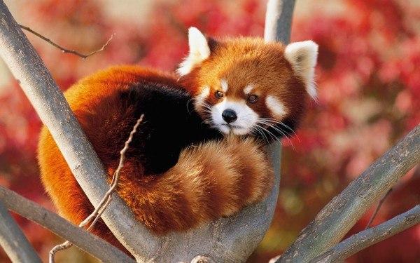 oso-panda-rojo