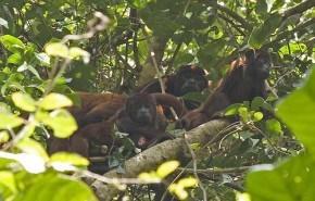 Mono endémico de Perú en peligro de extinción