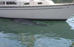 El triste final de una ballena abandonada
