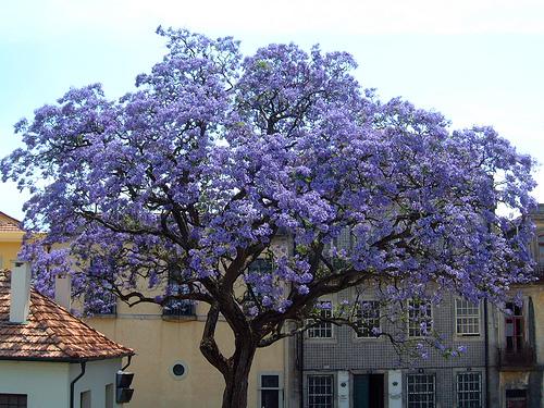 Empress Tree (Paulownia tomentosa)
