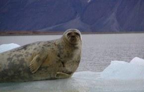 Muertes masivas de crías de foca anillada en el Báltico