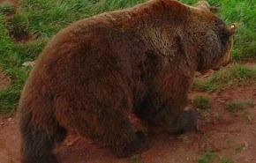 Los osos no pueden hibernar por falta de alimentos y por el cambio climático