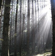 Descubren árbol con 8000 años de edad en Suecia, el más antiguo del mundo