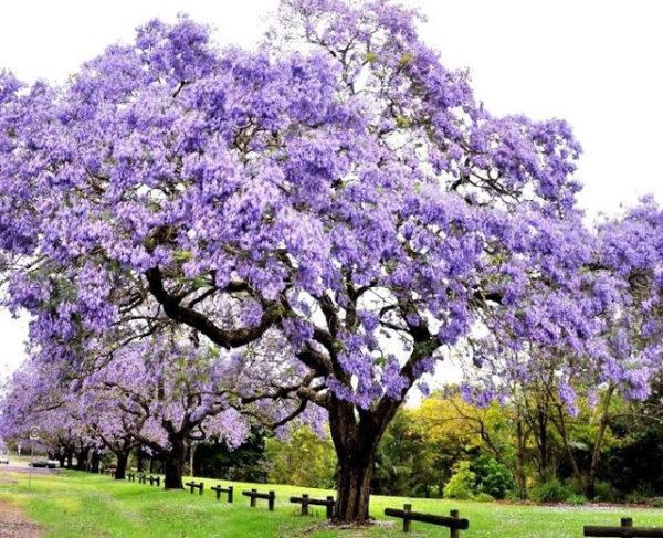 la-revolucion-del-kiri-el-arbol-que-puede-salvar-al-mundo-arbol-en-flor