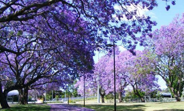 la-revolucion-del-kiri-el-arbol-que-puede-salvar-al-mundo-floracion