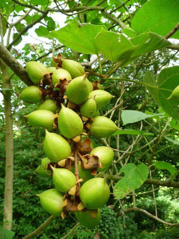 la-revolucion-del-kiri-el-arbol-que-puede-salvar-al-mundo-semillas