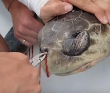 Consiguen sacar del orificio de la nariz de una tortuga un enorme trozo de plástico (Vídeo)