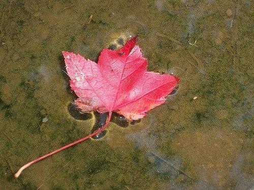 A Que Se Debe El Color Rojo De Las Hojas De Arbol En Otono - Hojas-de-arboles