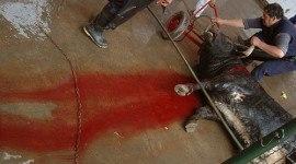 Veterinario dice en diversos medios que los toros no sufren en las corridas