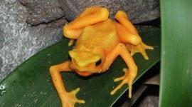 Confirman extinción del sapo dorado