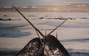 200 narvales a punto de morir en Canadá