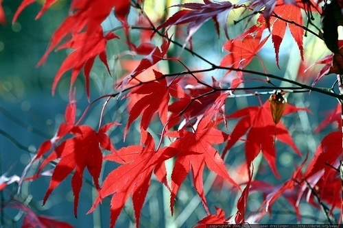 A qu se debe el color rojo de las hojas de rbol en for El arbol que no tiene hojas