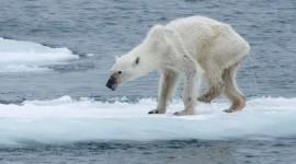 La foto de una osa desnutrida recuerda que el cambio climático es real