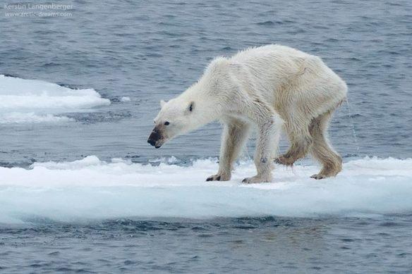 la-foto-de-una-osa-desnutrida-recuerda-que-el-cambio-climatico-es-real