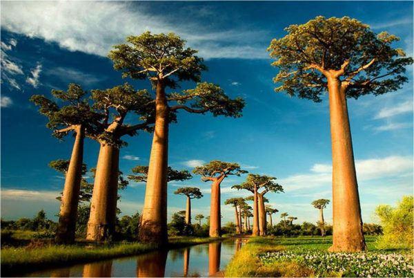 Baobabs los rboles m s magn ficos del mundo for Las caracteristicas de los arboles