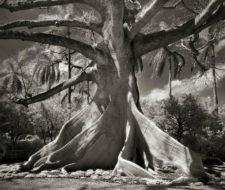 Baobabs. Los árboles más magníficos del mundo