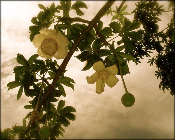 Baobabs los rboles m s magn ficos del mundo for Cuales son los arboles perennes