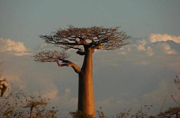 los-arboles-mas-magnificos-del-mundo-baobabs-forma-botella