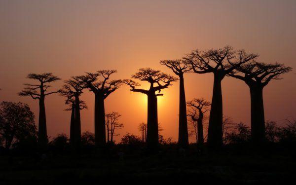 los-arboles-mas-magnificos-del-mundo-baobabs-noche