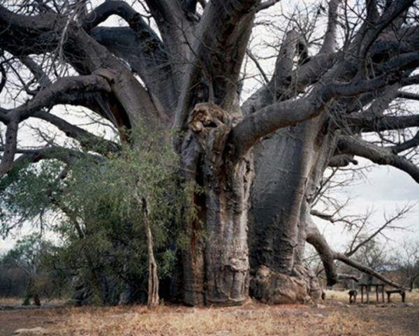 los-arboles-mas-magnificos-del-mundo-baobabs-segole