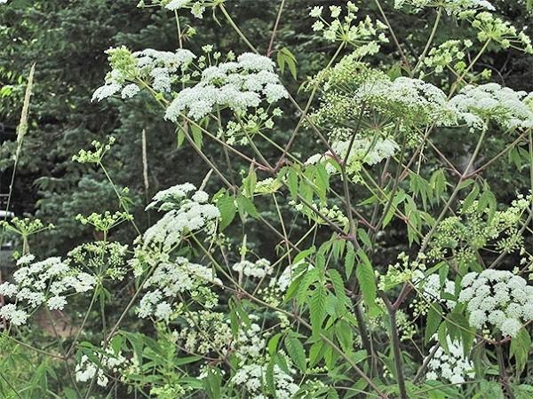 plantas-mas-venenosas-del-planeta-cicuta-de-agua