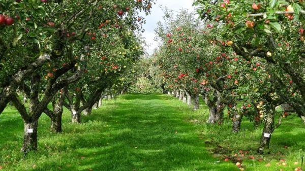 Tipos de rboles y sus caracter sticas for Plantas frutales