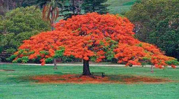 tipos-de-arboles-ornamentales-ejemplos