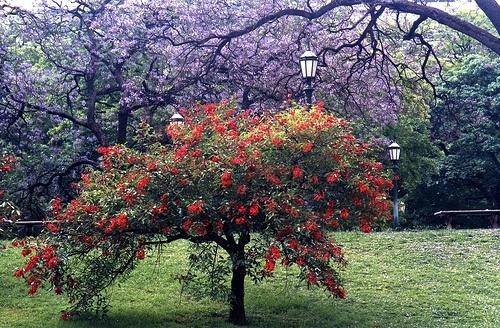 tipos-de-arboles-ornamentales