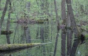 Bosque de Białowieża: El último bosque virgen europeo