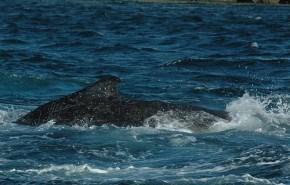 Japón dejará de capturar ballenas jorobadas