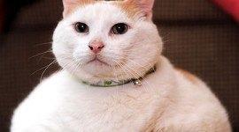 El gato más gordo del mundo está a dieta