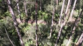 Los árboles más altos del mundo: Eucalyptus regnans