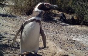 Pingüinos mueren empetrolados en el Río de la Plata